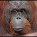 Bornean orangutan (Pongo pygmaeus) by Xavier Bayod Farré