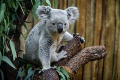 Koala Posed with Eucalyptus Leaves