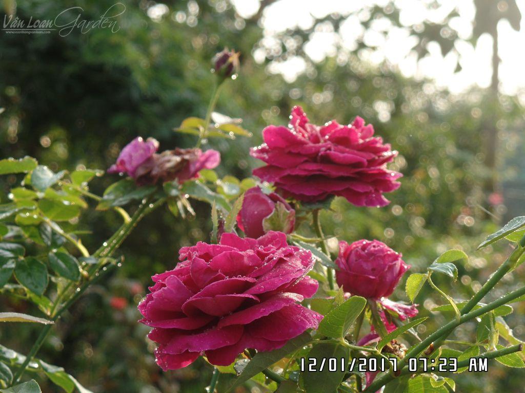 hoa hong ngoai the prince rose tai lang hoa sa dec (13)-vuonhongvanloan.com
