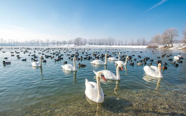 lake Zajarki (091) - swans