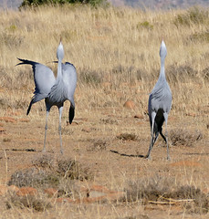 Blue Cranes (Anthropoides paradiseus) couple calling ...