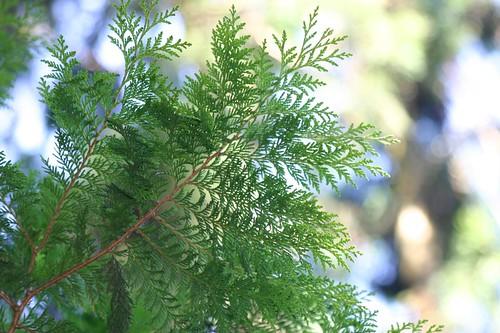 紅檜葉,圖片攝影:王升陽。