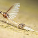 Mayfly molting. by T0P cat