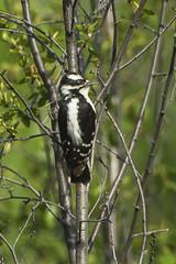 Downy Woodpecker fem - Sisters - OregonS4E8747