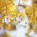 阿勃勒 Golden Shower by Yaoo Sheng Ming