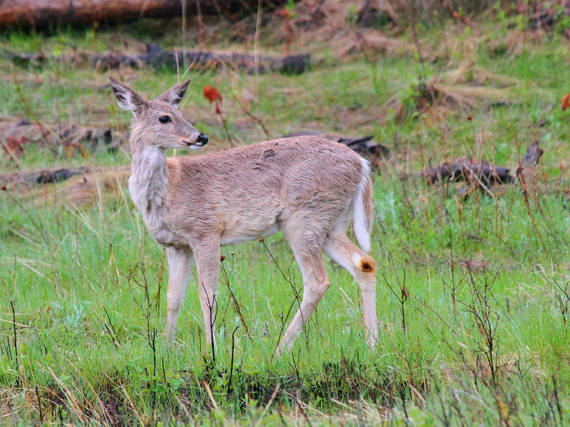 IMG_9981 White-Tailed Deer, Custer State Park
