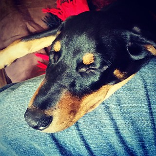 Sweet Penny puppy snuggles 💜 #rescuedpuppiesofinstagram #instapuppy #puppygram #sleepingpuppy #puppysnuggles #dobermanmix #dobermanpuppy #dobiemix #puppylove #puppiesofinstagram #lifeisgood #happypuppy #instalove #muttstagram