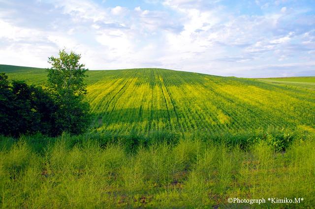デントコーン畑のキガラシ2