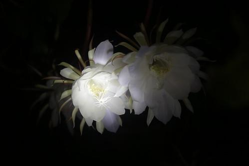 Brahma Kamal Flower