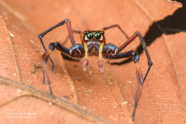 Big-jawed jumping spider (Parabathippus sp.) - DSC_4991