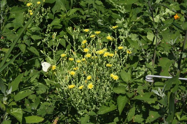 flowering 4ft tall lettuces