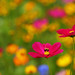 Bee on Cosmos Flower by Bryan Carnathan