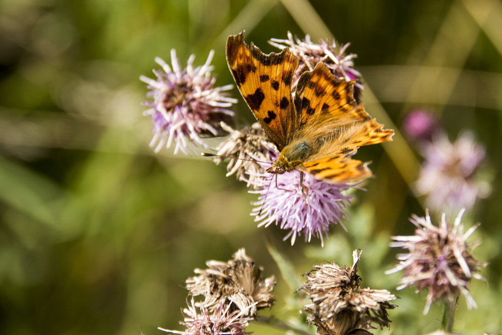 Close up of a butterfly upon a thistle