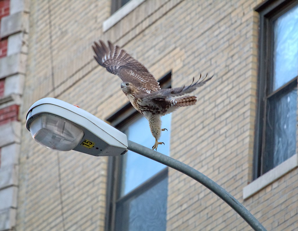 Red-tail fledgling on E 7th Street