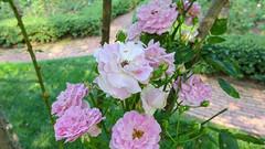 Roses Roses Roses in the Rose Garden