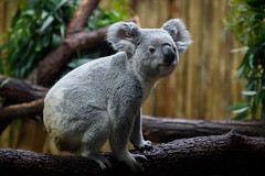 Koala Posed on Branches
