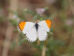 Large Orange Tip (Colotis antevippe antevippe) Male