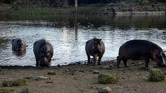 Hippo Meal