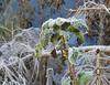 Frosty nettles
