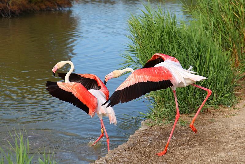 Flamencs en acció