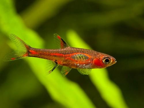 Chilli Rasbora (Boraras brigittae) fish