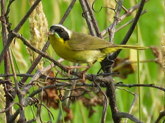 animal, sparrow, branch, fauna, finch, green jay, beak, bird, wildlife,