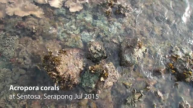 Elegant acropora coral (Acropora sp.)