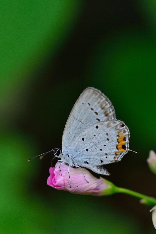 Everes argiades / Short-tailed Blue