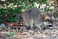 animal(1.0), raccoon(1.0), mammal(1.0), fauna(1.0), viverridae(1.0), procyon(1.0), wildlife(1.0),