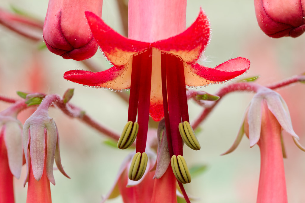A close-up view of the flower of a cape fuchsia
