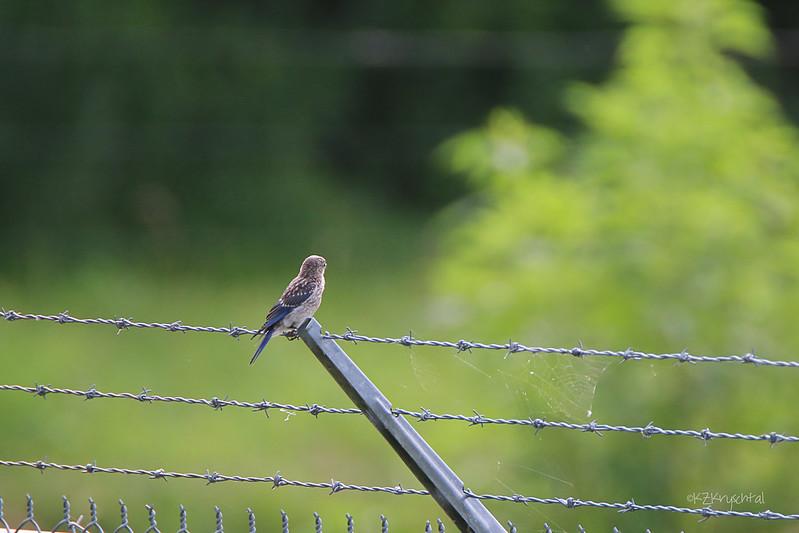 IMG_0223EasternBluebird