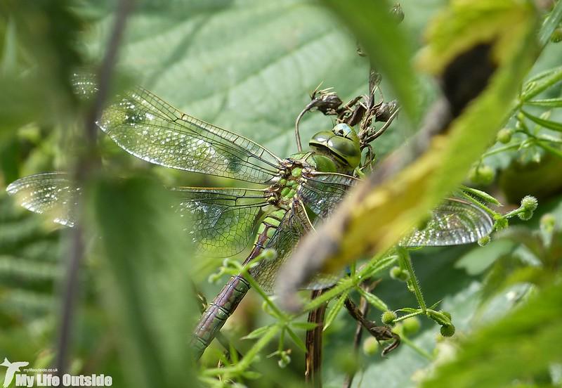 P1140304 - Emporer Dragonfly
