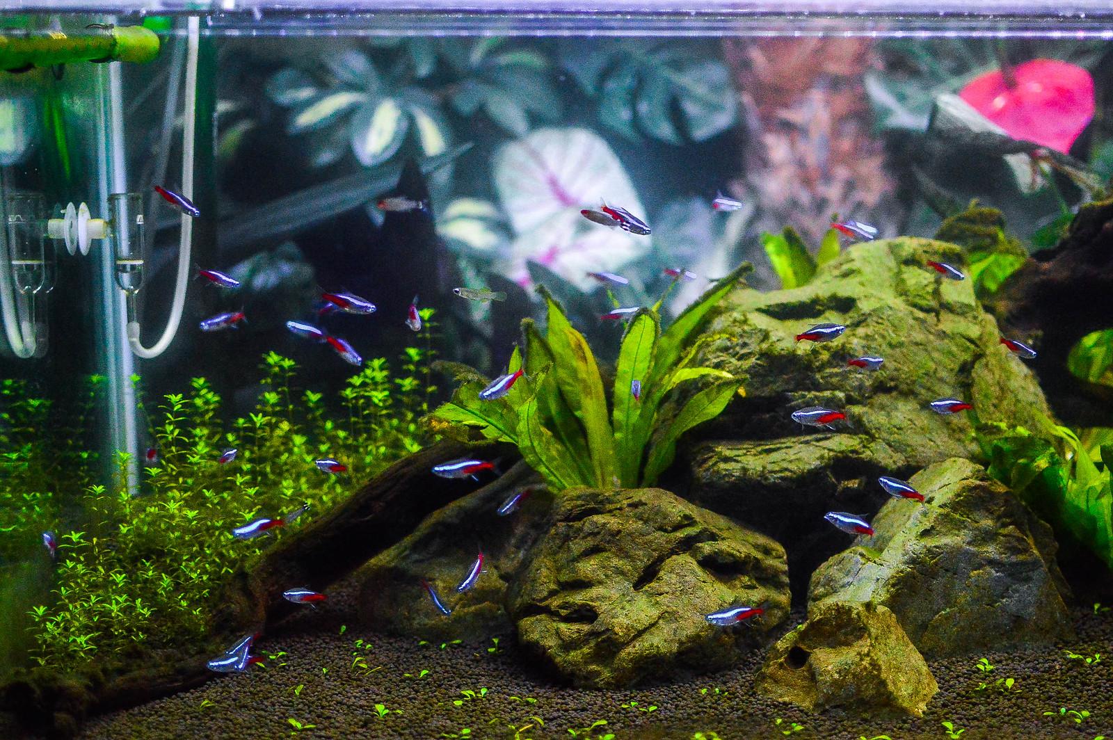 Osaka Aquarium Neon Tetra