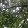 #Leaves and #branches in #Oakville in #August