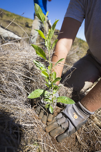 A young ʻAʻaliʻi being planted in one of our plots in Nakula Natural Area Reserve