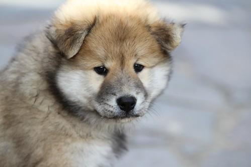 eurasier-puppy-1920816_1920