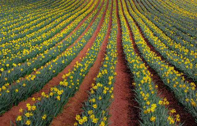 Dancing with daffodils