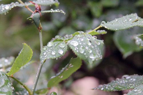 raindrops-leaves3-500px
