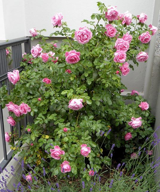 rosen zur zeit bl hen berall in den vorg rten die rosen flickr photo sharing. Black Bedroom Furniture Sets. Home Design Ideas