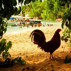 Cock-ah-doodle-party done! Rooster on watch at the raft up party! #whatsupbarbados #barbados #rooster #beachcock #beach #raftup #saltlife #idratherbethere #beachplease #lifeisbetterinabikini #olympuscamera #olympustoughtg2