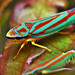 Red-banded Leafhopper, Graphocephala coccinea by Pingyeh