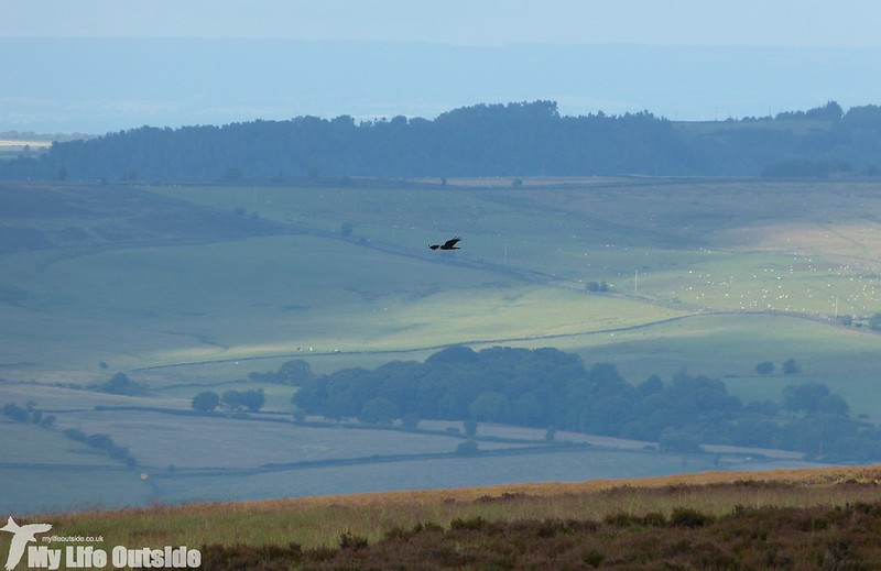 P1150030 - Marsh Harrier, Ilkley Moor