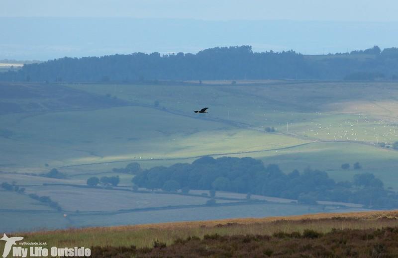 P1150030 - Marsh Harrier, Ilkley Moor