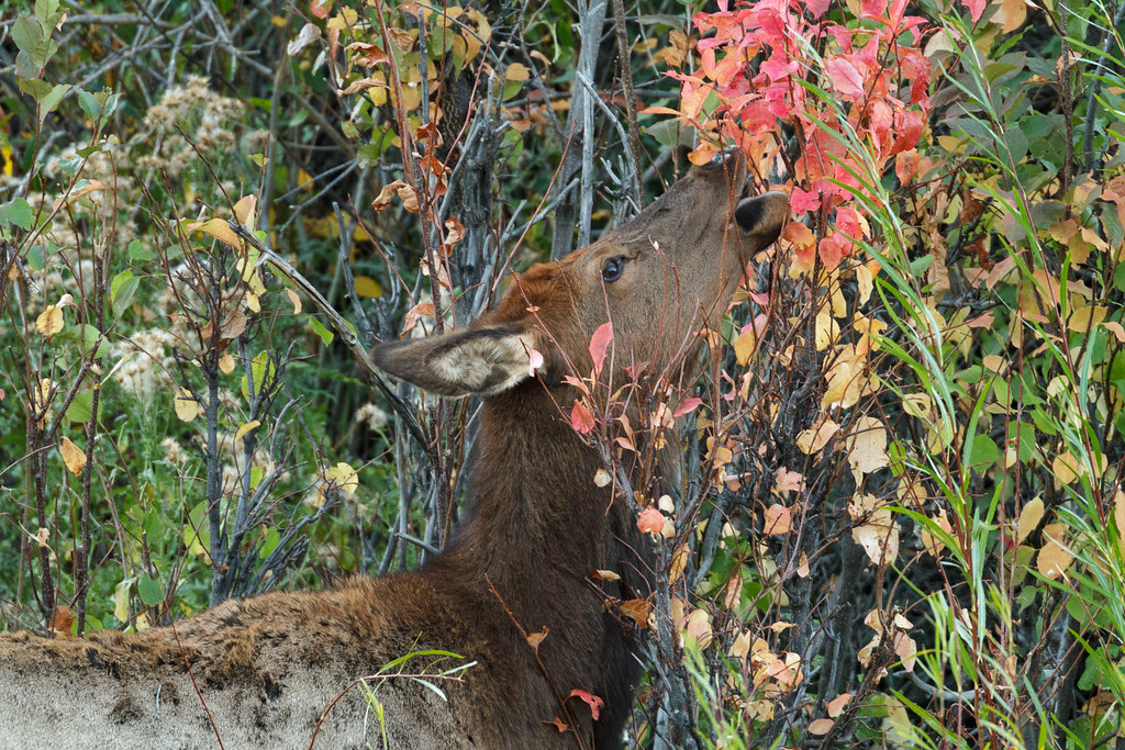 An elk cow reaches for red leaves on a fall evening in Yellowstone National Park