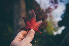 The last red leaf....