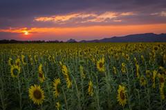 sun(set)flower