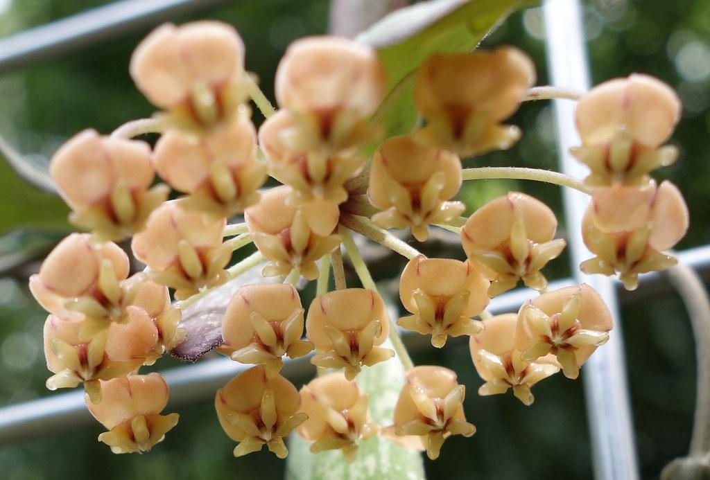 Hoya sigillatis 18618107559_0f96ff198a_b