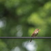 170: Sing Out, Wren! by JKLsemi