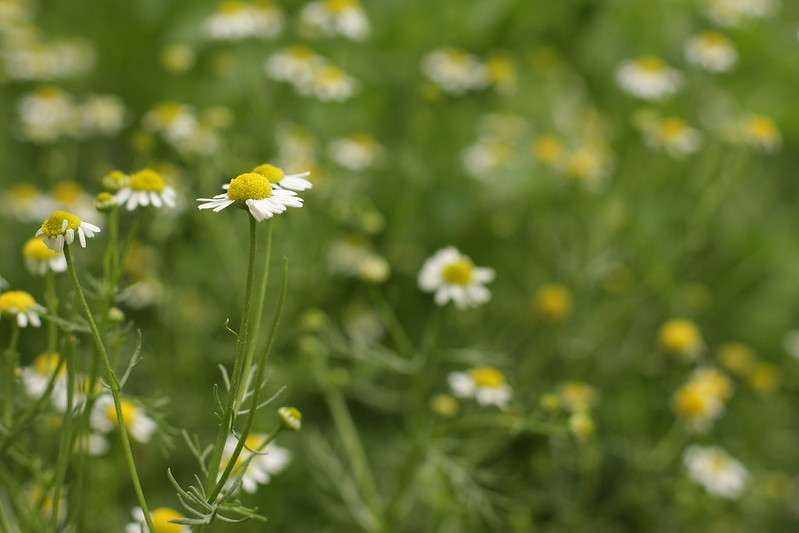 German Chamomile