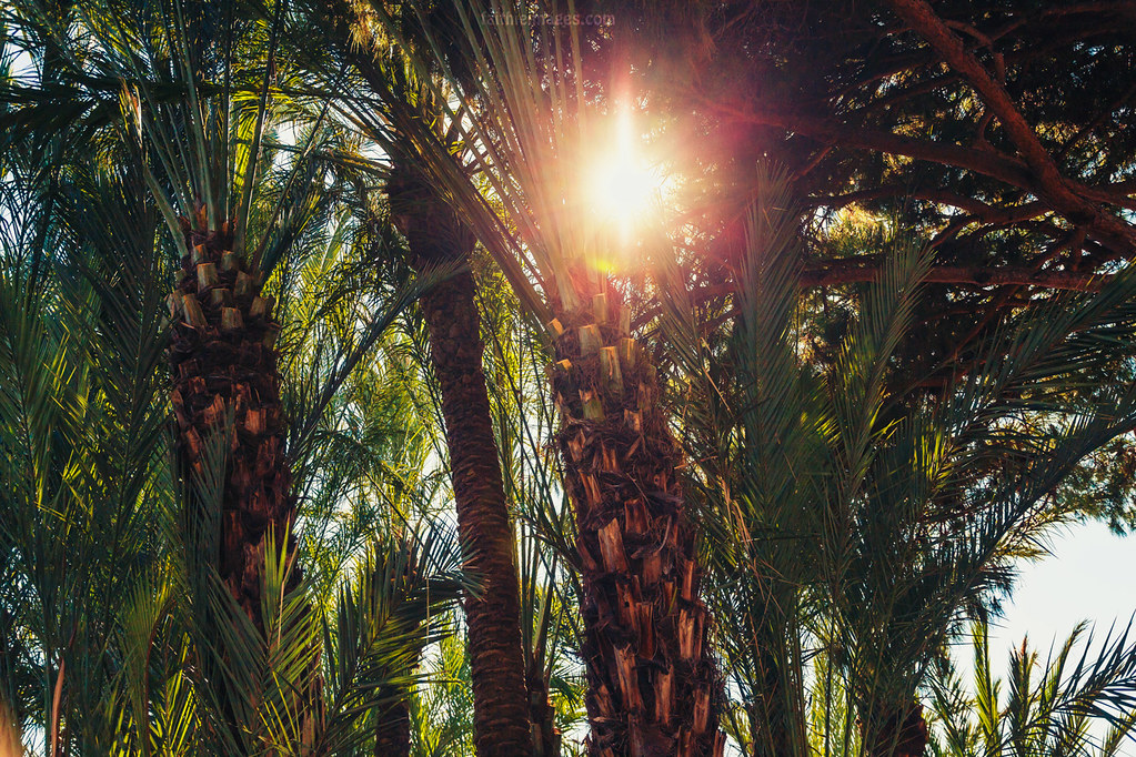 Palm trees with sun flare